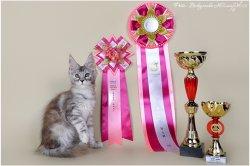 12 недель, лучший котенок противоположенного пола, лучший котенок в шоу черепаховых окрасов