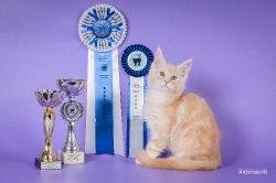 10 недель, лучший котенок в Мейн кун-шоу и Форест-шоу